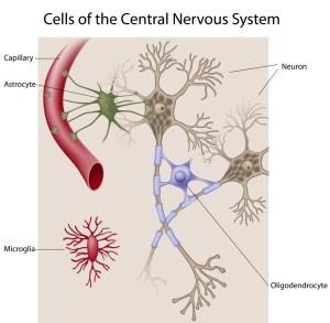 מחסום דם-מוח. איור: shutterstock