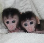 תאומות מקוק משובטות שנולדו בסין, ינואר 2014. צילום: Cell