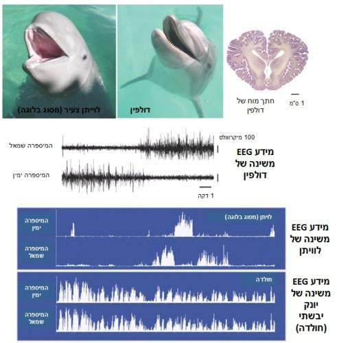 תמונה מס' 1: הדגמה של שינה חד המיספרית ביונקים ימיים. מידע EEG משינה של דולפין (במרכז התמונה) ולוויתן מסוג בלוגה (תחתית האיור). ניתן לראות שהפעילות בהמיספרה שמאל שונה מהפעילות בהמיספרה ימין  (נמוכה בשמאל גבוהה בימין ואז להפך) זאת בניגוד לשינה של חולדה למשל (תחתית האיור) בה הפעילות זהה בשתי ההמיספרות. (Adapted with permission from Siegel JM. Nature 2005)