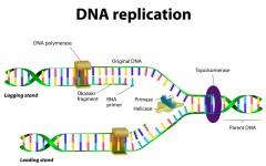 שכפול ה-DNA באמצעות RNA. איור: shutterstock