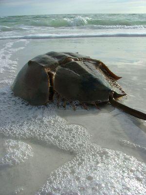 מאובן חי – Horseshoe Crab | צילום: אמנדה, ויקיפדיה