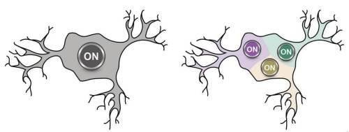 עיקרון הפעולה של תא עצב המקובל כבר כמאה שנה (משמאל( והעיקרון שהתגלה עתה בו יש רגישות לכיווניות של הגירוי (מימין). באדיבות אוניברסיטת בר-אילן.