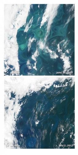 """פריחת אצות רחבה באוקיינוס האטלנטי הצפוני בסוף יולי 2012 (למעלה). היא נעלמה עד תחילת יולי בשל פגיעת נגיף (למטה). אימג'ים: הלווין """"אווה"""" של נאס""""א"""