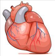 שריר הלב. איור: shutterstock