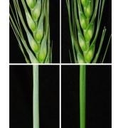 השכבה הכחולה-אפורה (משמאל) מעניקה לחיטה עמידות לפתוגנים. כאשר השתיקו המדענים את הגנים האחראיים לייצור שכבה זו, גדלה החיטה בצבע ירוק מבריק (מימין)
