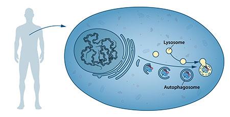 תהליך פירוק חומרים בתוך התא - תיאור המנגנון שגילה זוכה פרס נובל לרפואה לשנת 2016 יושינורי אוסומי