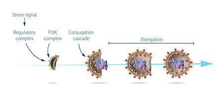 איור 3: אושומי חקר את תפקודם של חלבונים המקודדים על ידי הגנים העיקריים האחראים לאוטופגיה. הוא הראה כיצד פועלים האותות היוזמיםפירוק עצמי ואת המנגנון שבאמצעותו חלבונים קומפלקסים חלבונים לקדם שלבים ברורים של היווצרות autophagosome.