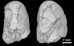 """זרעי פול הבר בני 14,000 שנה; """"האם הקדמונית"""" של הפול המודרני."""