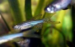 דגי זברה. צילום: Marrabbio2, Wikimedia.