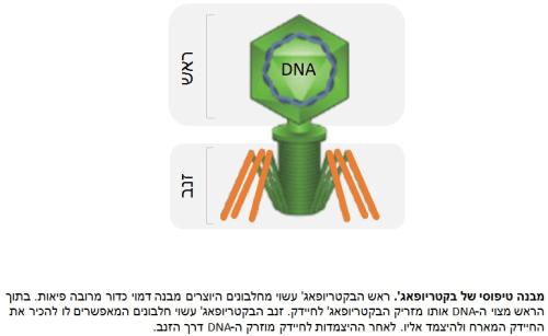 מבנה טיפוסי של בקטריופאג'. מקור: אוניברסיטת תל אביב.