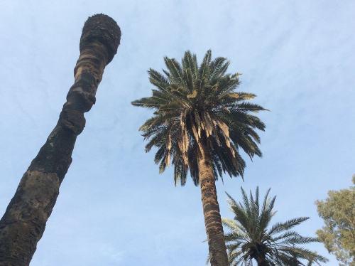 עץ דקל שנפגע מהמין הפולש חדקונית הדקל האדומה. צילום: Ori / Wikimedia.