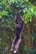 היער הטרופי תרם לירידות אוכלוסיות בעלי חיים רבים, כולל גיבון בורנאן, הידוע בקולות שהוא מוציא. (צילום: : ג 'ררדו סבאלוס, אוניברסיטת סטפנורד