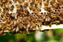 דבורי דבש. מתוך PIXABAY.COM