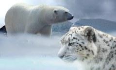 בעלי חיים בסכנת הכחדה - דוב הקוטב ונמר השלג. מתוך PIXABAY.COM