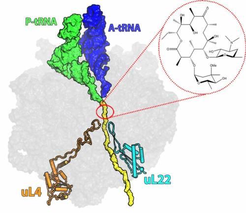 חתך של תת-היחידה הגדולה בריבוזום החיידקי. בצהוב – מנהרת היציאה של החלבונים מהריבוזום. באדום – כיס הקישור של האריתרומיצין בכניסה למנהרה. למטה מימין (מסומן בתכלת) – החלבון הריבוזומלי L22. במושגים מבניים וכימיים, החלבון מרוחק מכיס הקישור של האנטיביוטיקה. מקור: מגזין מכון ויצמן.