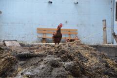 תרנגול עומד על פסולת אורגנית. אילוסטרציה: Herzi Pinki, Wikimedia.