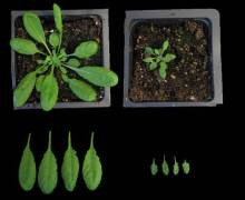 הצמח תודרנית לבנה (אראבידופסיס), לאחר הנדסה גנטית (מימין) שבמהלכה הוחדרו אליו 11 גנים המעורבים בהפקת כולסטרול, מייצר כולסטרול בכמות גדולה פי 15 מאשר תודרנית לבנה רגילה (משמאל). מקור: מגזין מכון ויצמן.