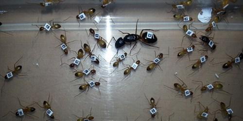 תגית לכל נמלה: הנמלים סומנו כך שאפשר יהיה לזהות כל אחת מהן בתהליך ההאכלה (ראו סרטון 2). מקור: מגזין מכון ויצמן.