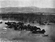 תאויים (ג'מוסים) בביצות החולה, על רקע החרמון, שנות ה-30 או ראשית ה-40 של המאה ה-20. תצלום: ויקיפדיה.