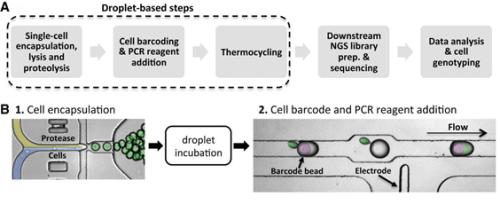 """תרשים השיטה של טיפה מבוססת פרוטאז (אנזים שתפקידו לפרק חלבונים) עבור הגברה והכנסת ברקודים של דנ""""א גנומי מתוך תא יחיד. (A) שלבי הגישה. (B) בתחילה, התאים עוברים כימוס (encapsulated) עם בופר תמס המכיל פרוטאז ועוברים הדגרה לשם זירוז הפרוק (טיפות ירוקות). בשלב הבא מפסיקים את הפרוק על ידי חימום ואז הטיפות המכילות את תוכן התא מתמזגות עם טיפות המכילות חומרי PCR וכן כדוריות הידרוג'ל מולקולאריות הנושאות בתוכן ברקוד."""