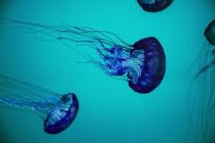 מדוזה בתוך המים. צילום: מתוך PIXABAY,COM