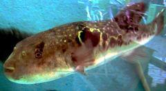 דג פוגו (אבו נפחא) מתוך ויקיפדיה