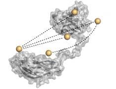 מודל אטומי של שתי תתי-יחידות בצלולוזום של החיידק Clostridium thermocellum. הכדורים המוזהבים מסמנים את מיקומם של התגים הפלואורסצנטיים שסייעו לנתח את התגובות הדינמיות בין תתי-היחידות