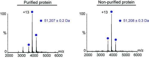 מדידות המאסה של החלבון באמצעות ספקטרומטריית מאסות מתקדמת היו כמעט זהות לאחר טיהור החלבון (שמאל) וללא טיהור (ימין)