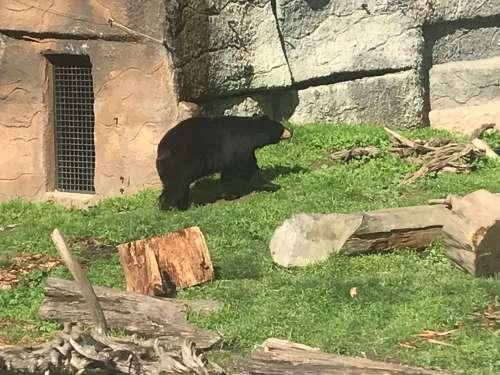 דב אמריקני שחור, בגן החיות של סן פרנסיסקו. צילום: אבי בליזובסקי