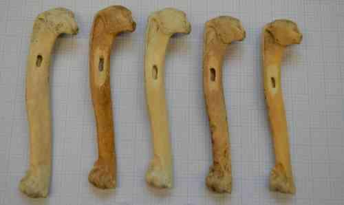 עצמות אוק גדול שמהם נלקחה דגימת DNA עתיקה שהוכיחה שהאדם גרם להכחדת המין שהיה נפוץ עד לפני מאה שנה. צילום: ג'סיקה תומאס, באדיבות המחברת.