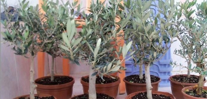 Saksıda Zeytin Ağacı Yetiştirmenin Sırrı