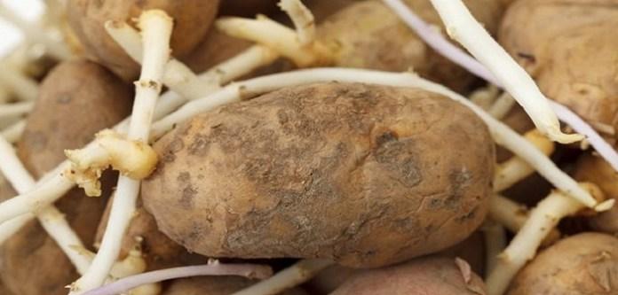 Patatesin Filizlenmesini Önlemek