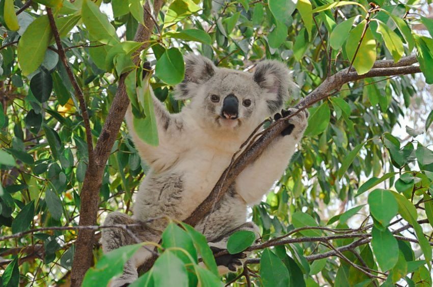 Finding koalas on Magnetic Island