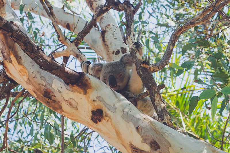 Koala spotting in Horseshoe Bay on Magnetic Island, Australia