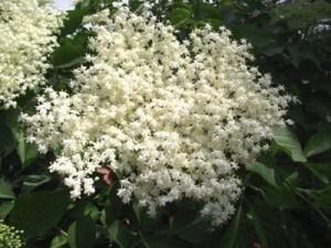 Bodza - virágai fehér ernyők