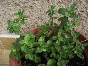 Fűszernövények termesztése - menta