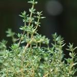 Fűszernövények gyógyításra