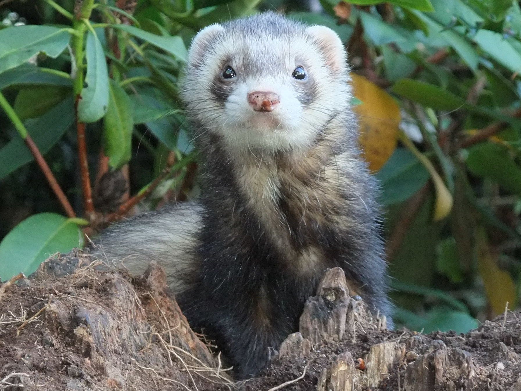 Our Ferrets | The Hants and Berks Ferret Club