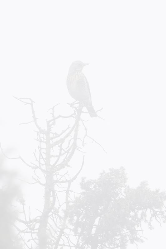 kramsvogel-in-mist-hut-7_10-11-2020_1
