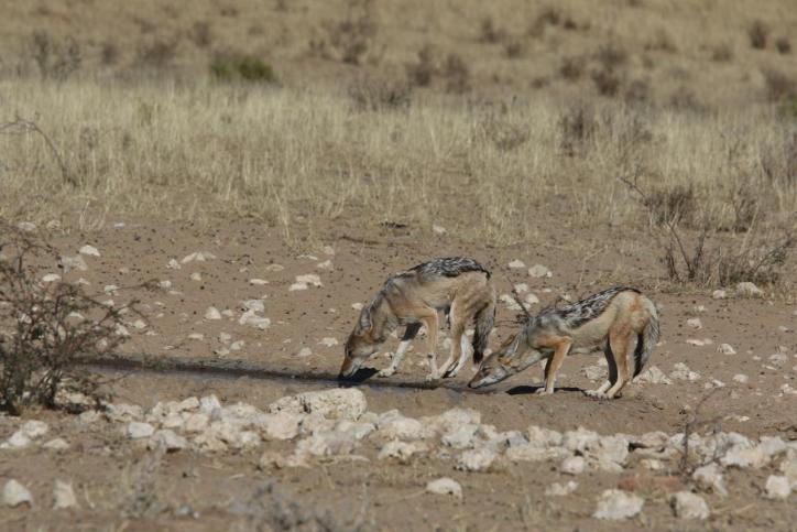 Schabrackenschakal / Black-backed jackal / Canis mesomelas