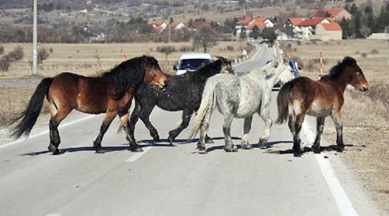 Policija upozorava na prisutnost poludivljih konja na Borovoj glavi