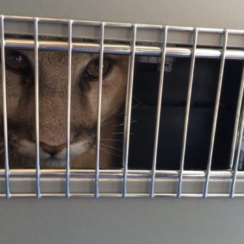 An orphaned cougar cub peeks out of its crate, after arriving in Morganton, N.C., from Idaho. The cub and its sibling will now reside at Grandfather Mountain in Linville, N.C. Photo by Bob Wilson