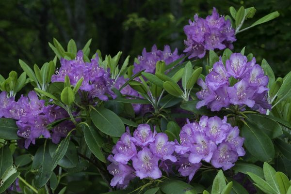 The Catawba rhododendron blooms annually in flashy tones of lilac and magenta. Photo by Skip Sickler | Grandfather Mountain Stewardship Foundation