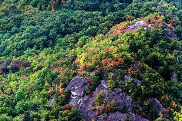 While more prevalent at elevations higher than 5,000 feet, fall color is rapidly spreading through the 4,000-foot range, as this scene near the Blue Ridge Parkway's Linn Cove Viaduct demonstrates. As autumn continues its march, higher elevations, like those on the parkway and Grandfather Mountain, will afford leaf-lookers an opportunity to also see the foliage changing in the valleys below. Photo by Skip Sickler | Grandfather Mountain Stewardship Foundation