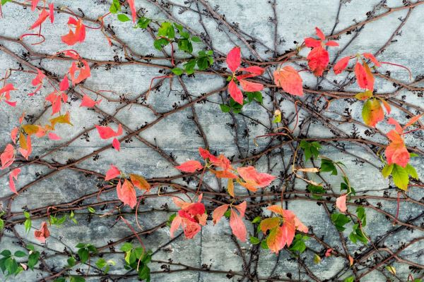 Virginia creeper assumes the hues of autumn, as it crawls along a bridge on U.S. 221 near Grandfather Mountain. Each day, the drive to Grandfather becomes ever more colorful, although the mountain's western slopes have already seen a dramatic change. Photo by Skip Sickler | Grandfather Mountain Stewardship Foundation