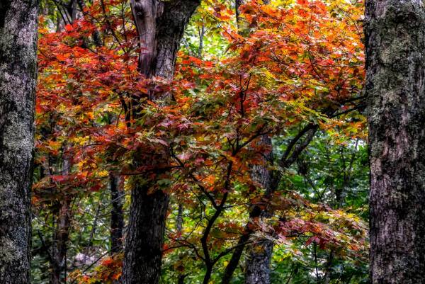 Autumn foliage complements the lush scenery at Grandfather Mountain's Woods Walk & Picnic Area. This weekend, visitors to the mountain can expect to see some colorful maples, sourwoods, azaleas, huckleberries and hobblebush that are crimson red to bright red. Photo by Skip Sickler | Grandfather Mountain Stewardship Foundation