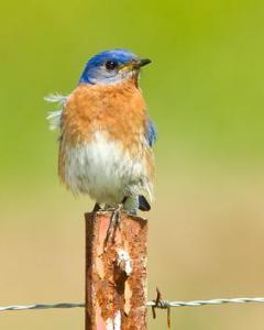 282_Eastern-Bluebird-M-copy