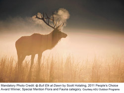 "Scott Hotaling's ""Bull Elk at Dawn"" won the 2011 People's Choice Award. Photo by Scott Hotaling"