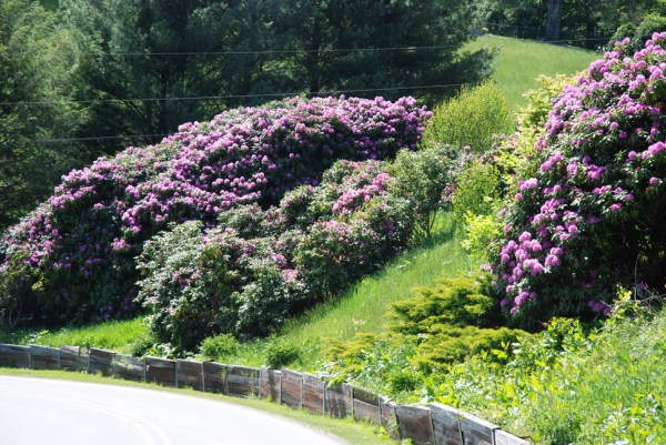 Beautiful rhododendrons are in full bloom across much of the High Country. Photo by Ken Ketchie