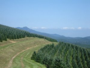 Fraser Firs near Grandfather Mountain. Photo courtesy of N.C. Christmas Tree Association